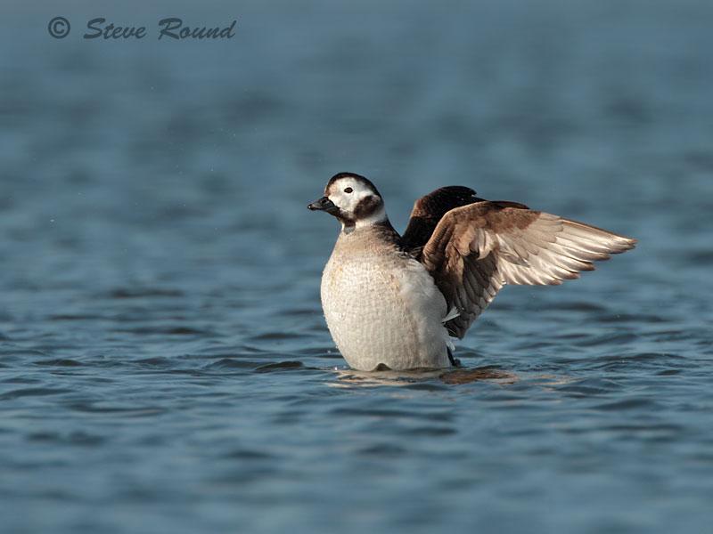 long-tailed duck, bird, nature, wildlife