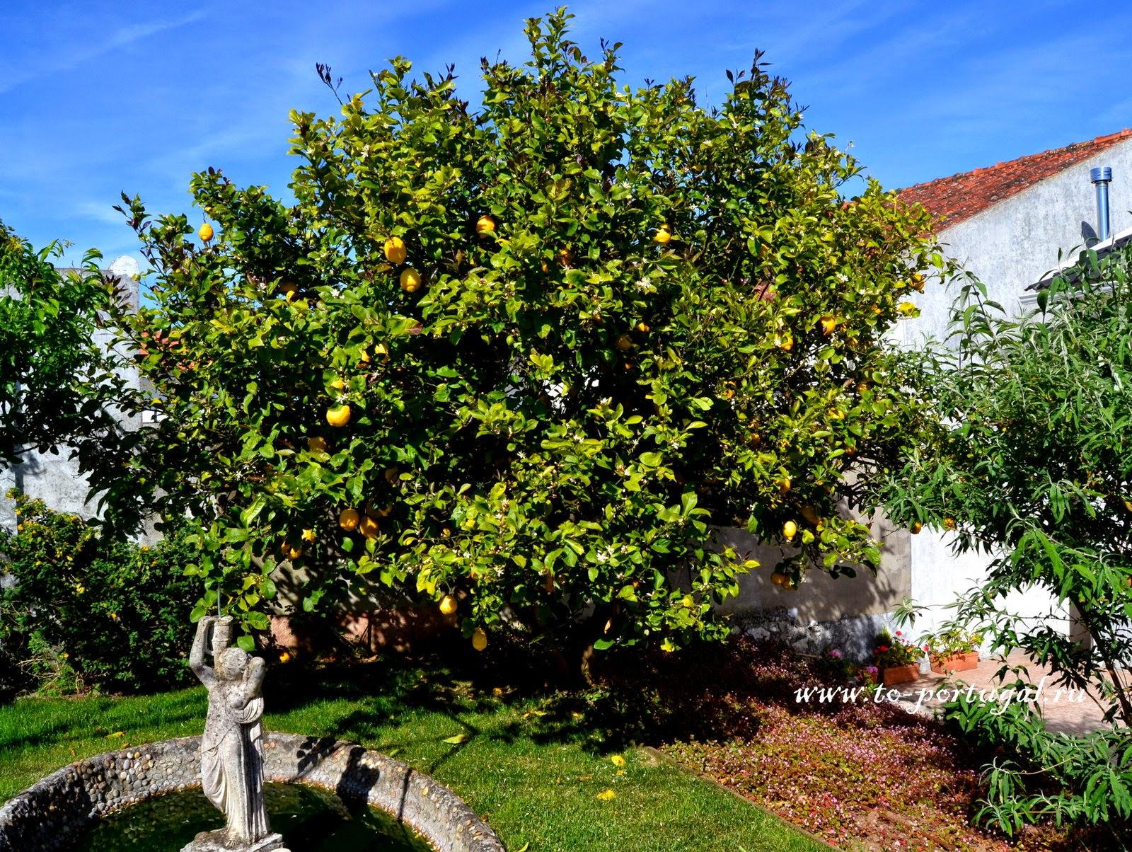 лимоны в португалии