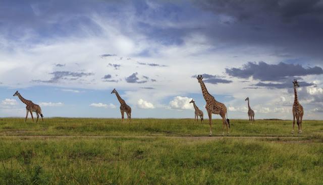 Masai-Mara-Reservat, Kenia