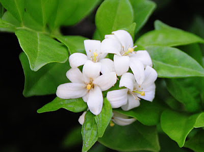 Jasmine Flower on Stem