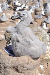 Albatross chick on Steeple Jason