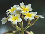 Flor de sacuanjoche