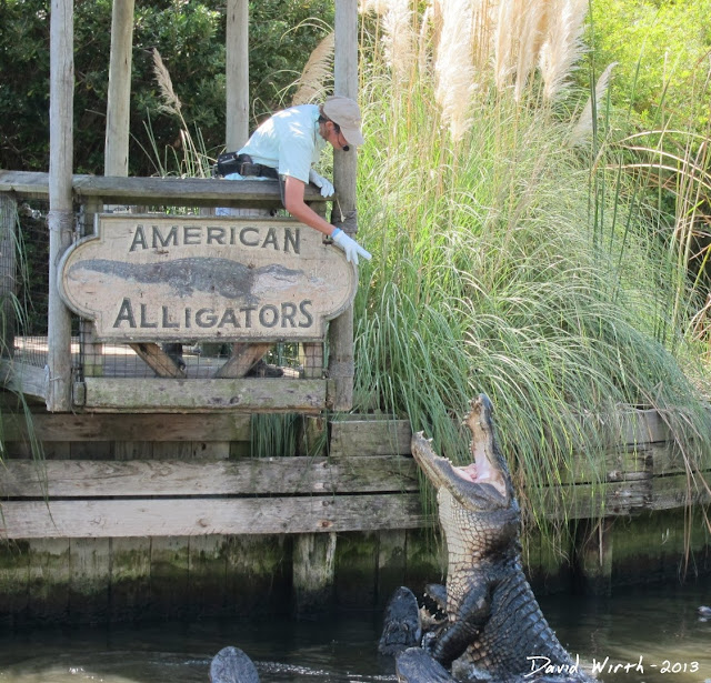 american alligator, feeding, chicken, jumping out of the water