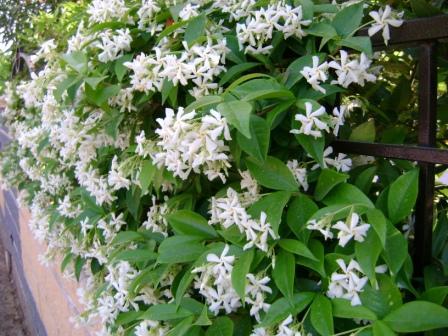 Fiori piante e giardini del mondo gelsomino pianta for Piante rampicanti ornamentali