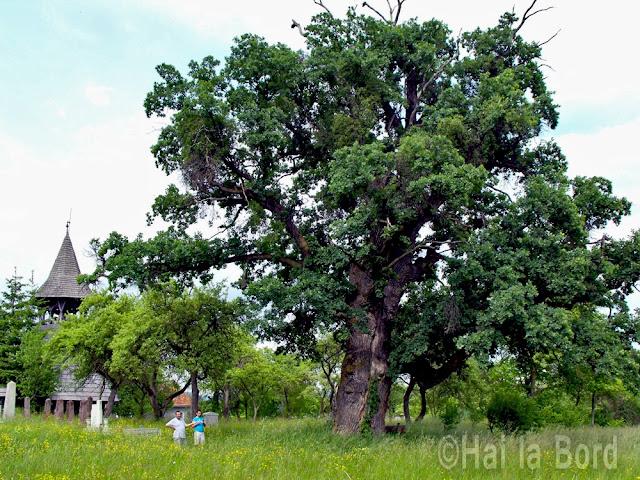stejar monument al naturii calnic covasna