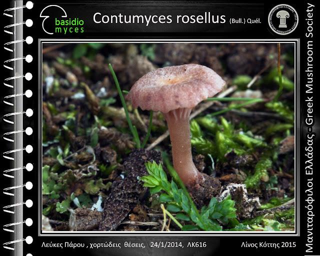Contumyces rosellus (Bull.) Quél.