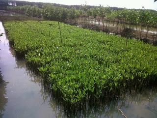bibit mangrove tanaman bakau