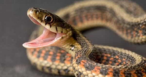 myths and facts about snakes Myths & facts of snakes in hindi : हमारे समाज में सांपो को लेकर कई तरह के अन्धविश्वास और भ्रम फैले हुए है। हमारा साहित्य, हमारी फिल्में और हमरी अंध.