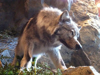 grey wolf at Bass Pro Shop