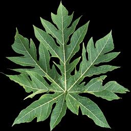 daun pepaya ramuan herbal alami tradisional kuno