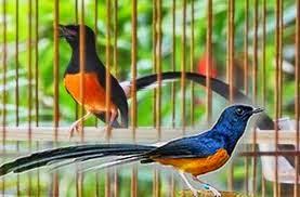 Foto Burung Wamei Terbaik