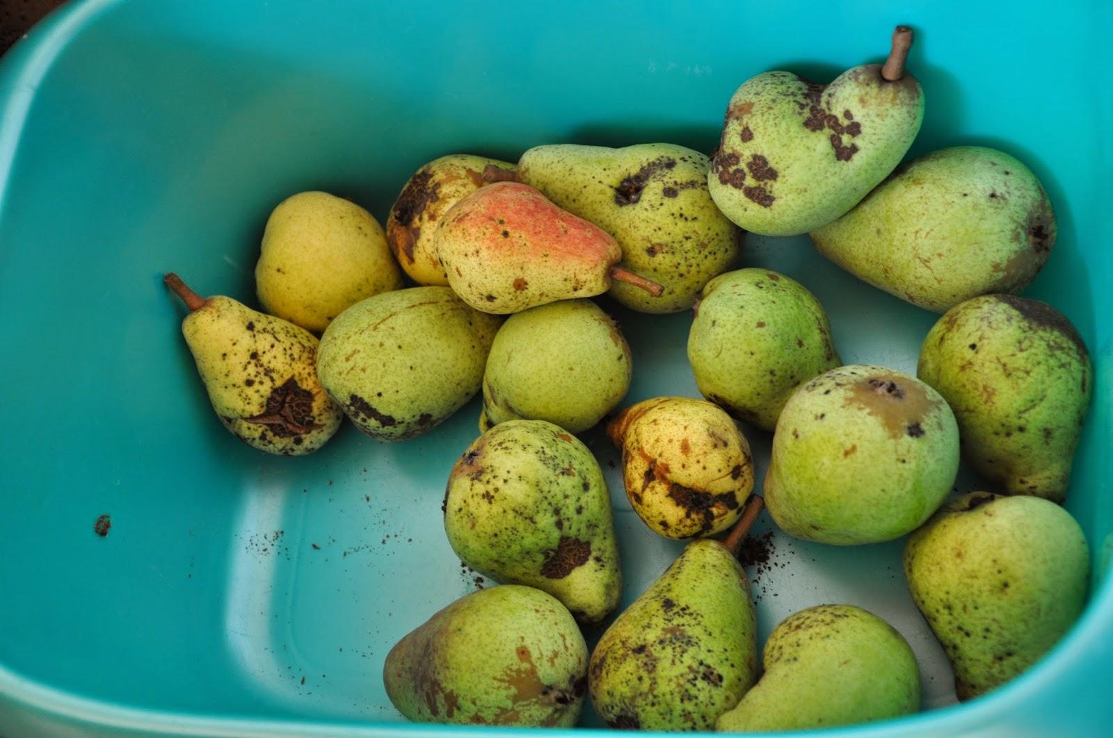 Spannenlanger Hansel, nudeldicke Dirn' - Leckere Birnenverwertung | Ein Wäschekorb voller Birnen
