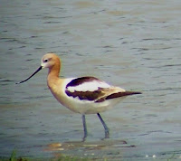 American Avocet