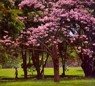 Arte y jardiner a rboles ornamentales for Tipos de arboles para plantar en casa