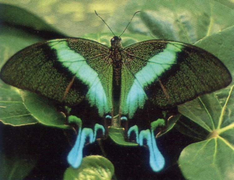 Papilio blumei du Sulawesi