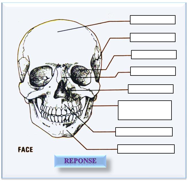 face du crâne