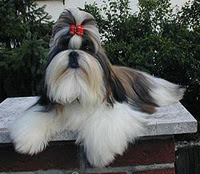 Cutest Dog Breeds In The World Shih Tzu