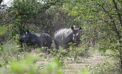 buongiornolink - Sos rinoceronti, rischiano estinzione in 28 anni