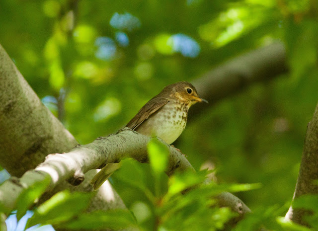 Swainson's Thrush - Central Park, New York