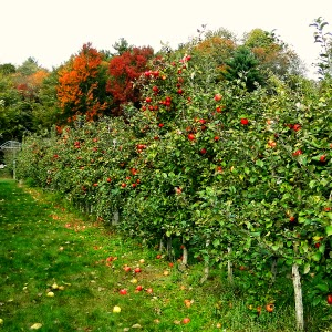 Peaceful  row of apple trees Highland Farm, Holliston, MA_New England Fall Events