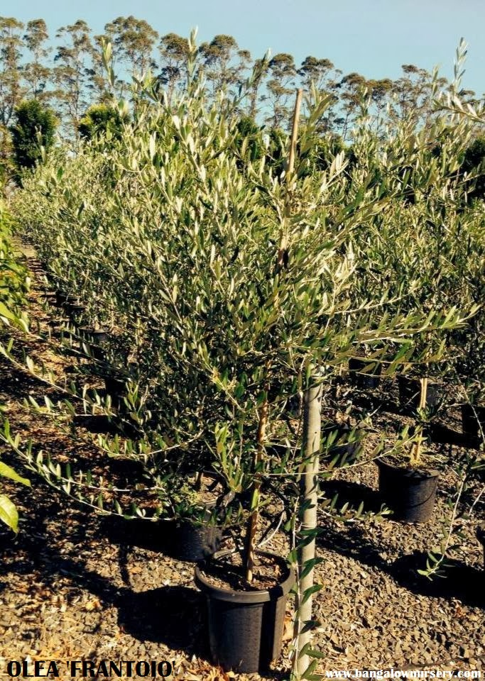 BANGALOW TREE TALES: OLEA, OLEA! OLIVE VARIETIES FOR ...