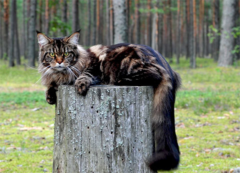 Gato da raça Maine Coon