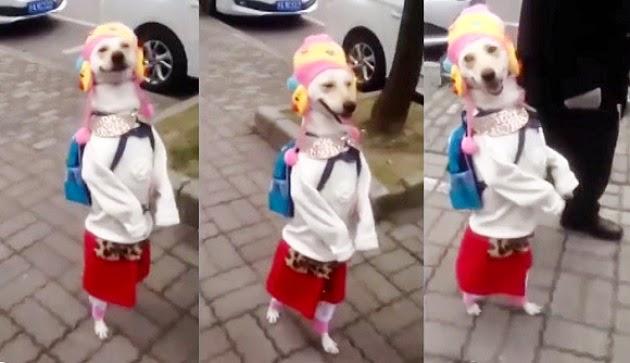 Anjing ini pakai baju perempuan dan berjalan dengan dua kaki