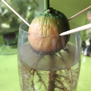 Avocado growing in water