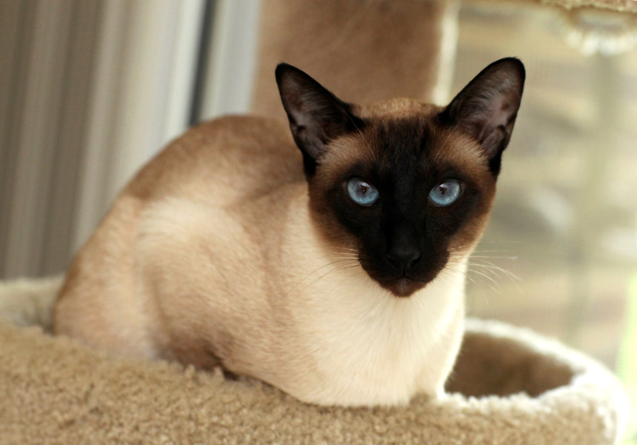 Seal Point Siamese - Just How Many Different Siamese Point Colors ...