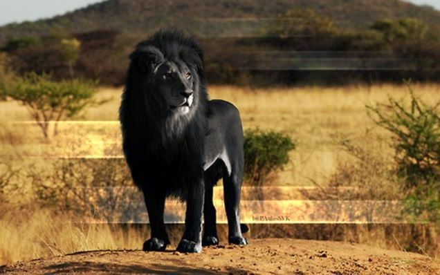 leon negro
