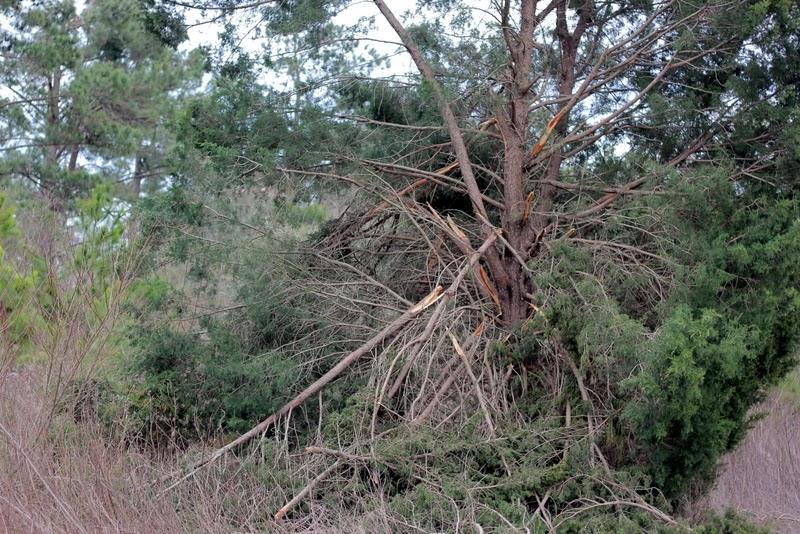red cedar after an ice storm