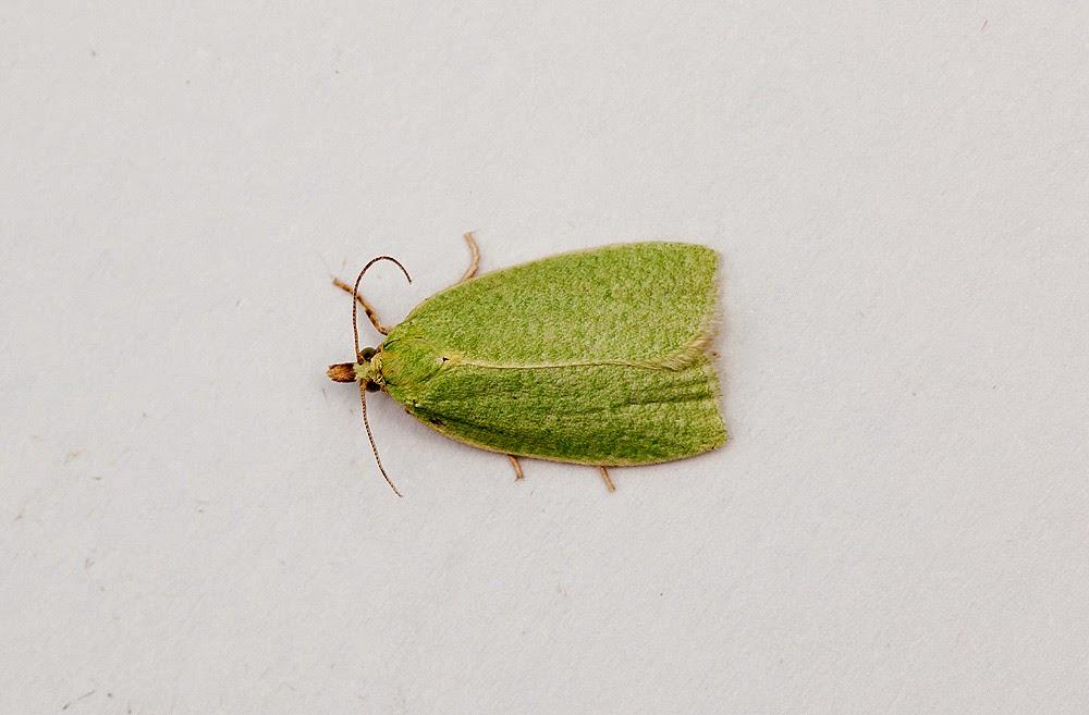 Green Oak Tortix