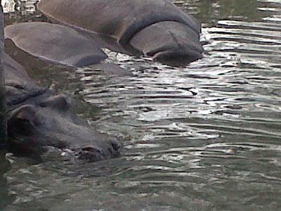 Hippopotamus in Delhi Zoo