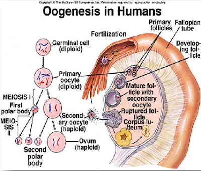 Oogenesis pada manusia