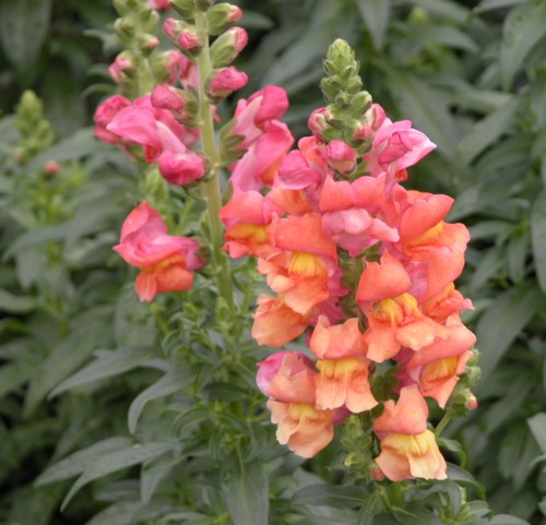 snapdragon  good witches magickal flowers and herbs, Natural flower