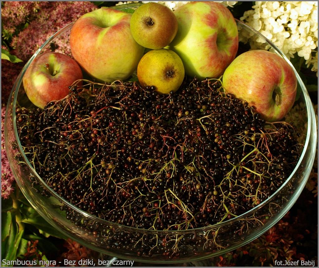 Sambucus nigra fuits - Bez dziki, bez czarny owoce