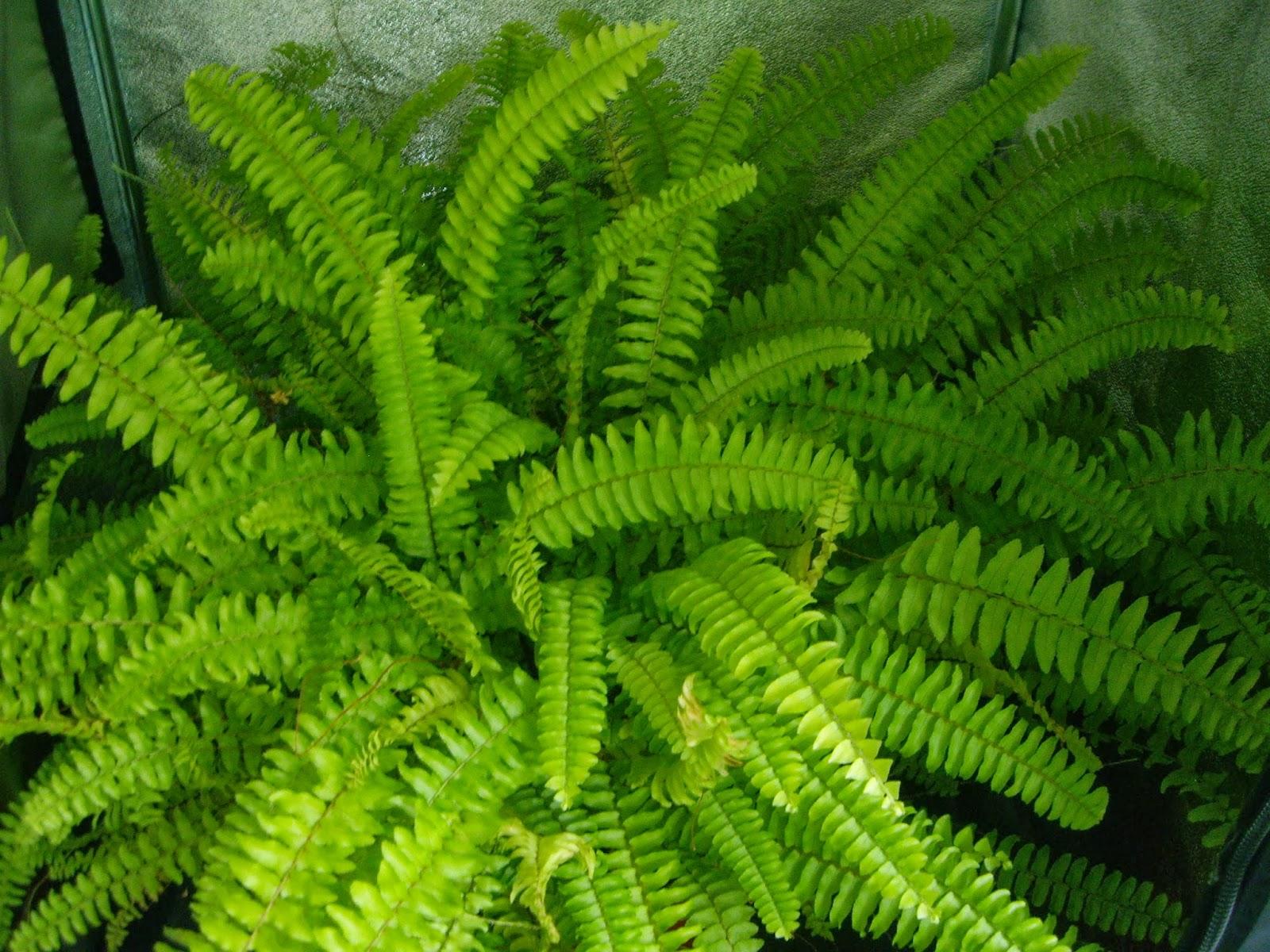 La mar de verde nephrolepis exaltata o helecho espada for Plantas ornamentales helechos