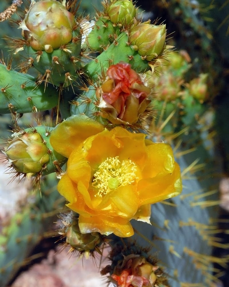 An exotic species of Opuntia sp._3004_