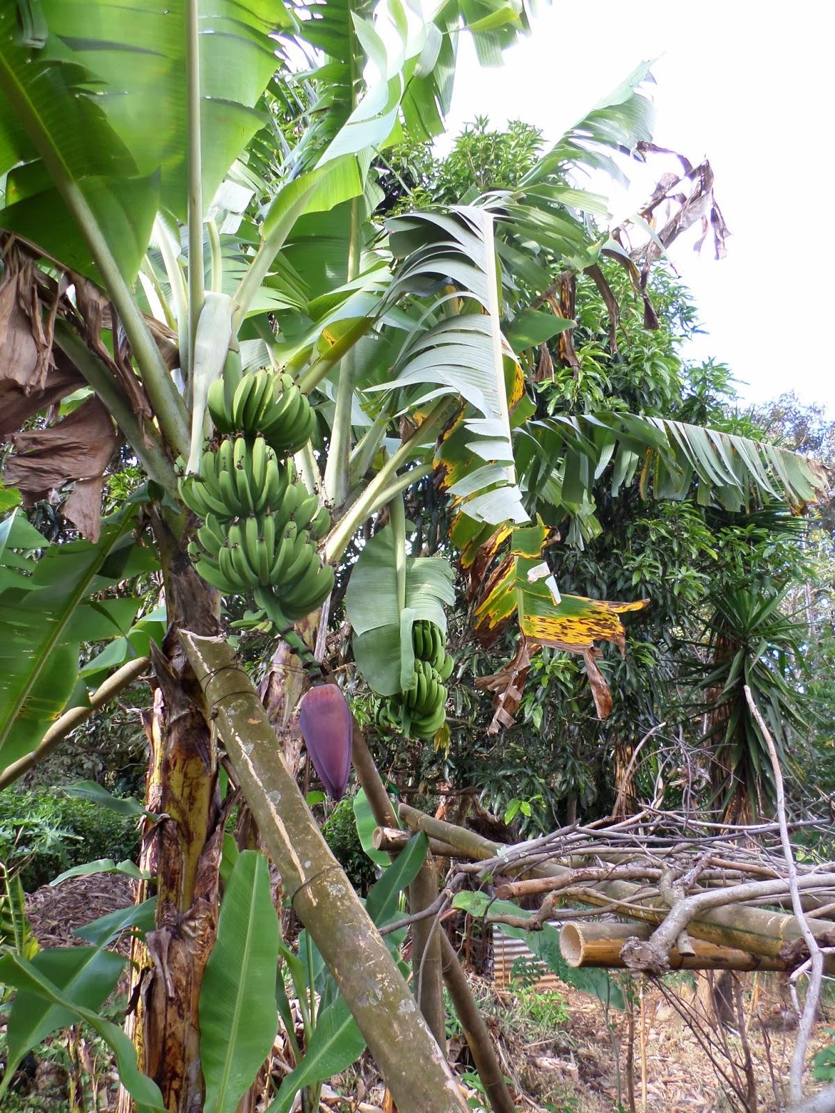Acuapon a jardines y permacultura en huerto grigarones for Banano de jardin