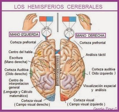 Lámina del cerebro indicando cuerpo calloso y ambos hemisferios. Incluye mano izquierda y derecha, ojos y areas del cerebro.