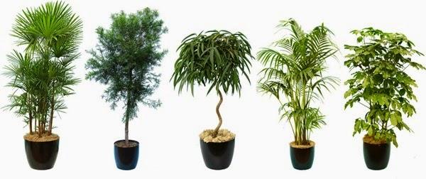 Sobno drveće  Sobne i Vrtne Biljke