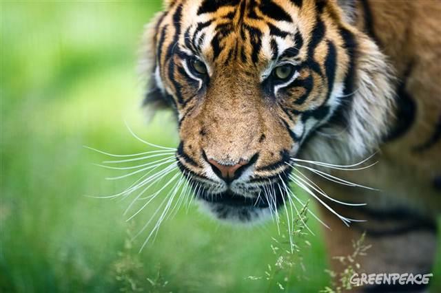 Inyiak Balang Yang Adalah Harimau Sumatera Yang Hampir Punah