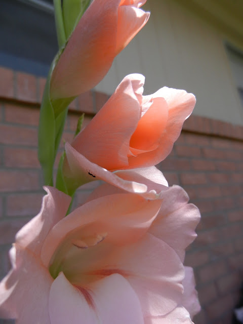 peach tall gladiolus picture