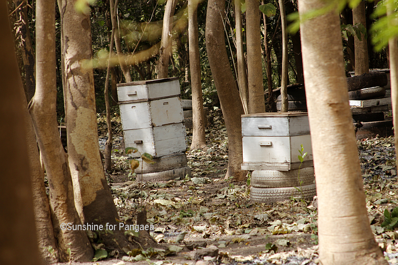 Beekeeping in Gambia