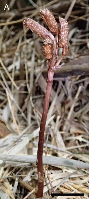http://sciencythoughts.blogspot.co.uk/2014/09/a-new-species-of-parasitic-orchid-from.html