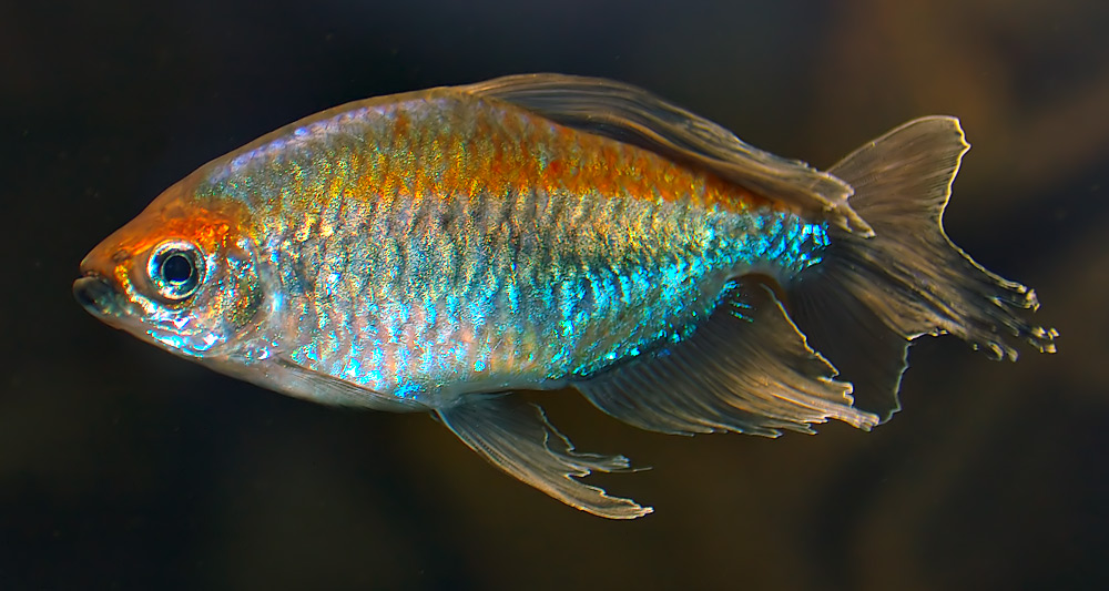 Fish pictures congo tetra lufundi native name for Types of tetra fish