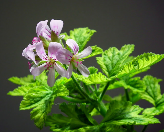 Pelargonium Charity flowers and leaves in sunlight