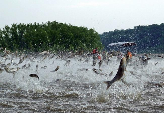 Gr8lakescamper illinois residents urged to help combat for Japanese carp