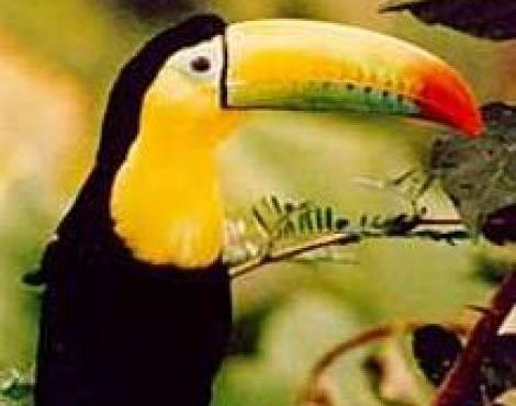 Keel Billed Toucan's Bill
