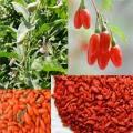 Os benefícios da fruta goji berry para a saúde